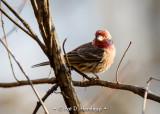 Finch in woods