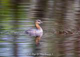 Grebe with ripples
