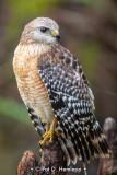 Hawks, other birds of prey