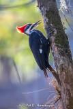 Working woodpecker