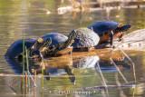 Row of turtles