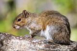 Squirrel at rest