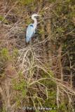 High heron