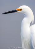 Egret up close