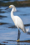 Egret and water