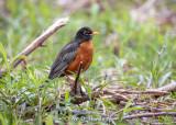 Low robin