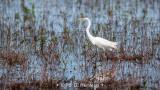 Egret in wetlands