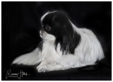 Our Japanese Chin, Smudge.