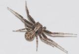 Xysticus kochi ( Gruskrabbspindel )