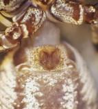 Xysticus audax ( Brynkrabbspindel )