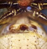 Xysticus cristatus ( Fältkrabbspindel )