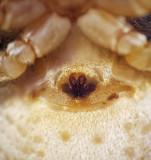 Xysticus bifasciatus ( Kungskrabbspindel )