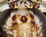 Xysticus sabulosus ( Sandkrabbspindel )