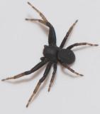 Thomisidae ( Krabbspindlar )