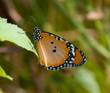 Plain tiger ( Danaus chrysippus ) Karavasta 17.7-18