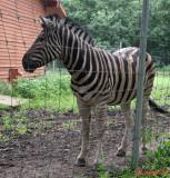 zoo--zebra-timisoara.JPG