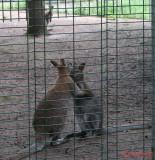 zoo-cangur-bennet-timisoara_03.JPG