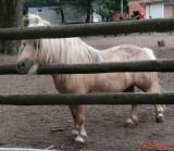 zoo-ponei-shetland-timisoara_02.JPG