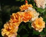 parcul-rozelor-trandafiri-timisoara_21.JPG