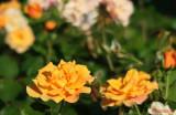 parcul-rozelor-trandafiri-timisoara_22.JPG