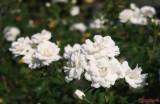 parcul-rozelor-trandafiri-timisoara_23.JPG