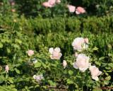 parcul-rozelor-trandafiri-timisoara_25.JPG