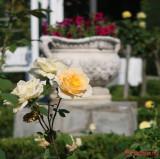parcul-rozelor-trandafiri-timisoara_27.JPG
