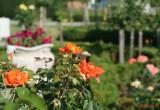parcul-rozelor-trandafiri-timisoara_28.JPG