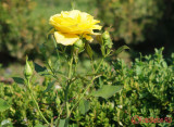 parcul-rozelor-trandafiri-timisoara_34.JPG