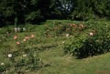 parcul-rozelor-trandafiri-timisoara_37.JPG