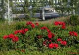 parcul-rozelor-trandafiri-timisoara_38.JPG