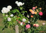 parcul-rozelor-trandafiri-timisoara_42.JPG