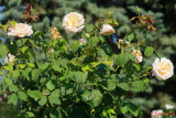 parcul-rozelor-trandafiri-timisoara_43.JPG