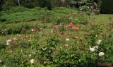 parcul-rozelor-trandafiri-timisoara_44.JPG