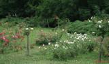 parcul-rozelor-trandafiri-timisoara_54.JPG