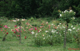 parcul-rozelor-trandafiri-timisoara_55.JPG