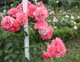 parcul-rozelor-trandafiri-timisoara_58.JPG