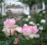 parcul-rozelor-trandafiri-timisoara_62.JPG