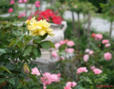 parcul-rozelor-trandafiri-timisoara_63.JPG