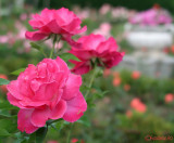 parcul-rozelor-trandafiri-timisoara_64.JPG