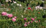 parcul-rozelor-trandafiri-timisoara_13.JPG