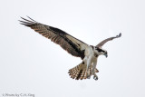 Osprey - Female