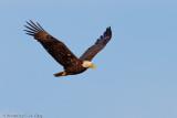 Bald Eagle - Core Creek Park