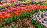 Water for Tulips