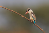 Striped Kingfisher - Halcyon chelicuti