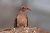 Bradfield's Hornbill - Tockus bradfieldi