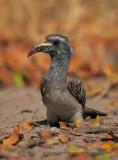 African grey Hornbill - Tockus nasutus