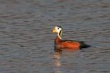 African Pigmy Goose - Nettapus auritus