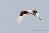 Saddle-billed stork - Mycteria senegalensis