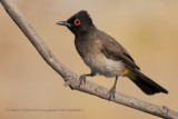 African red-eyed bulbul - Pycnonotus nigricans